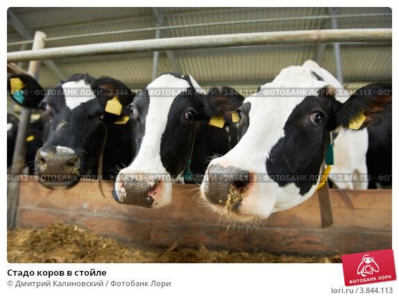 Купить «Стадо коров в стойле», фото № 3844113, снято 13 сентября 2012 г. (c) Дмитрий Калиновский / Фотобанк Лори