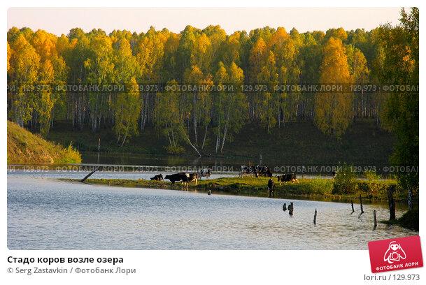 Стадо коров возле озера, фото № 129973, снято 19 сентября 2004 г. (c) Serg Zastavkin / Фотобанк Лори