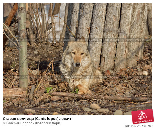 Купить «Старая волчица (Canis lupus) лежит», фото № 25731789, снято 9 марта 2017 г. (c) Валерия Попова / Фотобанк Лори