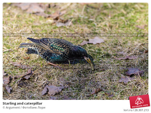 Купить «Starling and caterpillar», фото № 28307213, снято 11 апреля 2018 г. (c) Argument / Фотобанк Лори