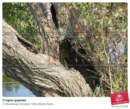 Старое дерево, фото № 6829, снято 14 августа 2005 г. (c) Минакова Татьяна / Фотобанк Лори