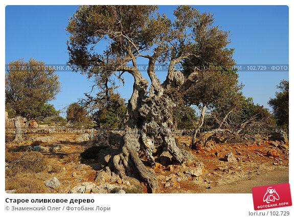 Старое оливковое дерево, фото № 102729, снято 22 июля 2017 г. (c) Знаменский Олег / Фотобанк Лори