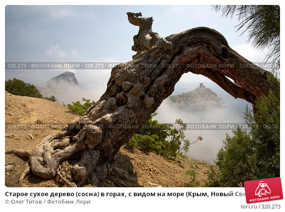 Старое сухое дерево (сосна) в горах, с видом на море (Крым, Новый Свет), фото № 320273, снято 21 мая 2008 г. (c) Олег Титов / Фотобанк Лори