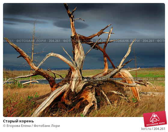 Старый корень, фото № 204261, снято 12 августа 2005 г. (c) Егорова Елена / Фотобанк Лори