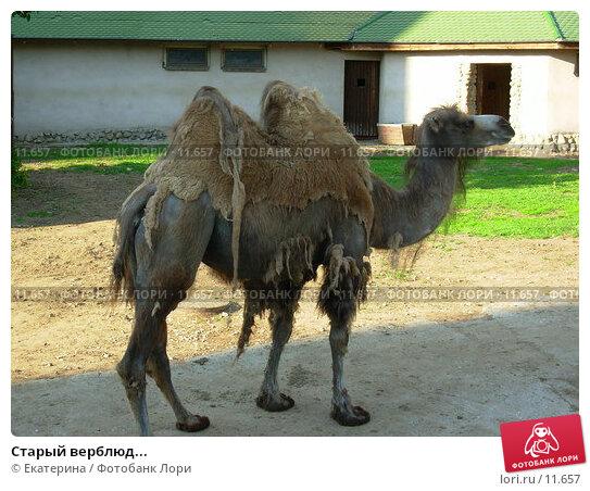 Купить «Старый верблюд...», фото № 11657, снято 14 июня 2006 г. (c) Екатерина / Фотобанк Лори