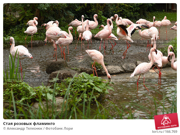 Стая розовых фламинго, фото № 166769, снято 8 сентября 2007 г. (c) Александр Телеснюк / Фотобанк Лори