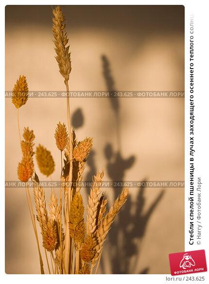 Стебли спелой пшеницы в лучах заходящего осеннего теплого солнца, фото № 243625, снято 9 января 2008 г. (c) Harry / Фотобанк Лори