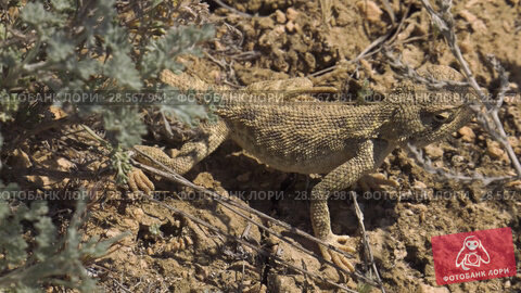 Купить «Степная агама в естественной среде обитания. Steppe Agama in habitat.», видеоролик № 28567981, снято 11 июня 2018 г. (c) Евгений Романов / Фотобанк Лори