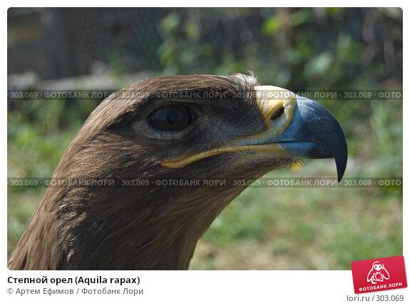 Степной орел (Aquila rapax), фото № 303069, снято 4 мая 2008 г. (c) Артем Ефимов / Фотобанк Лори