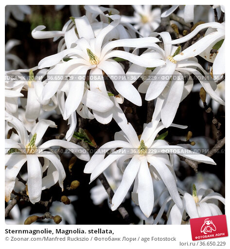 Sternmagnolie, Magnolia. stellata, Стоковое фото, фотограф Zoonar.com/Manfred Ruckszio / age Fotostock / Фотобанк Лори