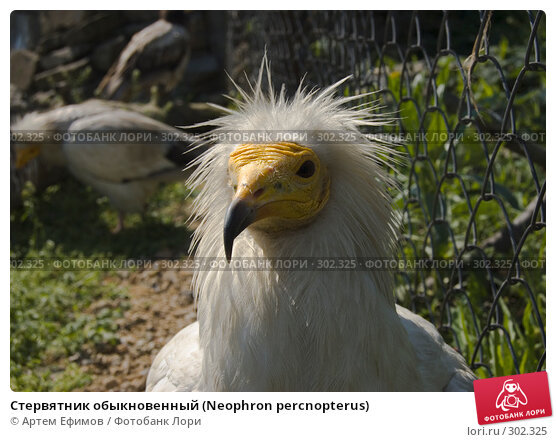 Стервятник обыкновенный (Neophron percnopterus), фото № 302325, снято 4 мая 2008 г. (c) Артем Ефимов / Фотобанк Лори