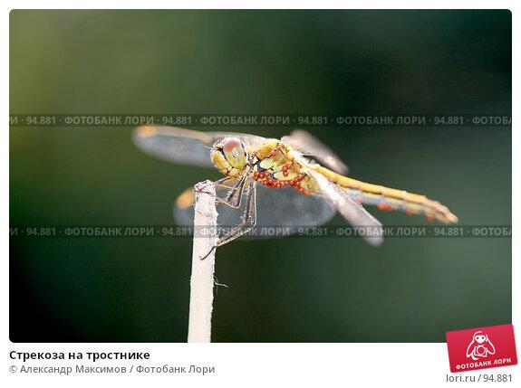 Стрекоза на тростнике, фото № 94881, снято 8 июля 2006 г. (c) Александр Максимов / Фотобанк Лори