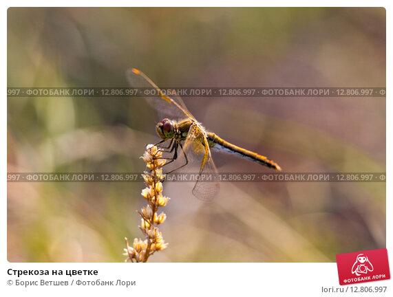 Стрекоза на цветке. Стоковое фото, фотограф Борис Ветшев / Фотобанк Лори