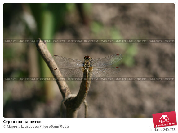 Стрекоза на ветке, фото № 240173, снято 10 августа 2007 г. (c) Марина Шатерова / Фотобанк Лори