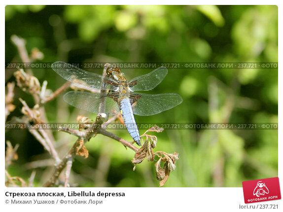 Купить «Стрекоза плоская, Libellula depressa», фото № 237721, снято 10 июня 2006 г. (c) Михаил Ушаков / Фотобанк Лори