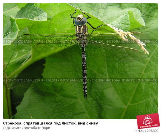 Стрекоза, спрятавшаяся под листок, вид снизу, фото № 246309, снято 12 июня 2005 г. (c) Дживита / Фотобанк Лори