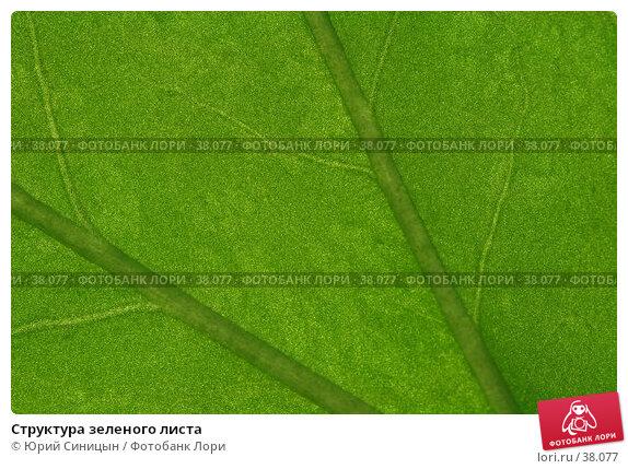 Купить «Структура зеленого листа», фото № 38077, снято 18 февраля 2007 г. (c) Юрий Синицын / Фотобанк Лори
