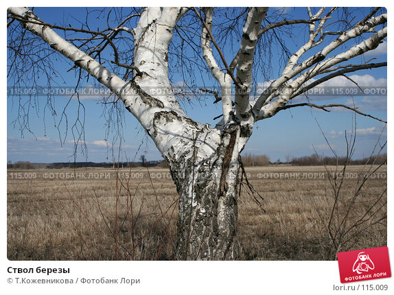 Ствол березы, фото № 115009, снято 15 апреля 2007 г. (c) Т.Кожевникова / Фотобанк Лори