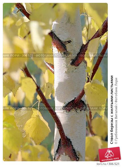 Ствол березы с желтыми листьями, фото № 306521, снято 10 декабря 2016 г. (c) Гребенников Виталий / Фотобанк Лори