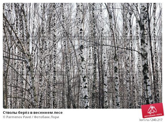 Стволы берёз в весеннем лесе, фото № 240217, снято 30 марта 2008 г. (c) Parmenov Pavel / Фотобанк Лори