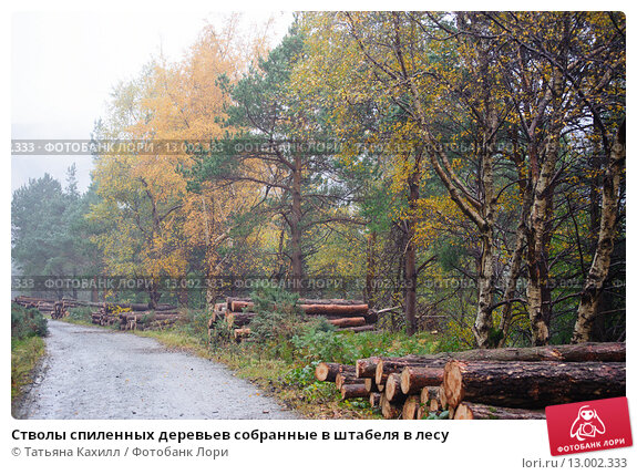 Купить «Стволы спиленных деревьев собранные в штабеля в лесу», фото № 13002333, снято 26 октября 2015 г. (c) Татьяна Кахилл / Фотобанк Лори