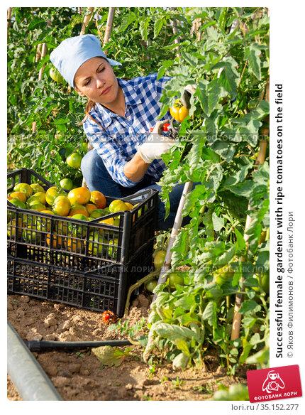 Successful female gardener with ripe tomatoes on the field. Стоковое фото, фотограф Яков Филимонов / Фотобанк Лори