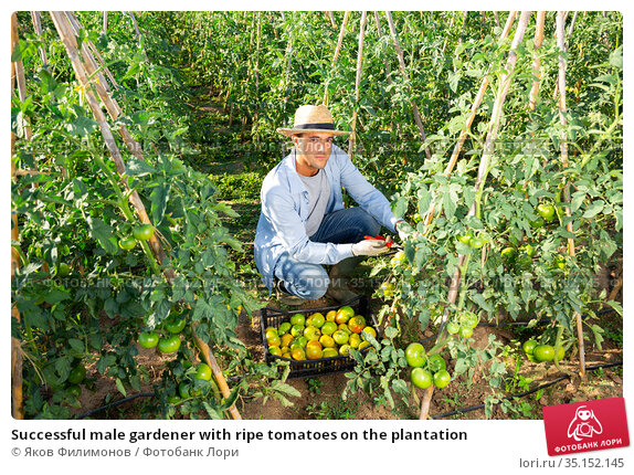 Successful male gardener with ripe tomatoes on the plantation. Стоковое фото, фотограф Яков Филимонов / Фотобанк Лори