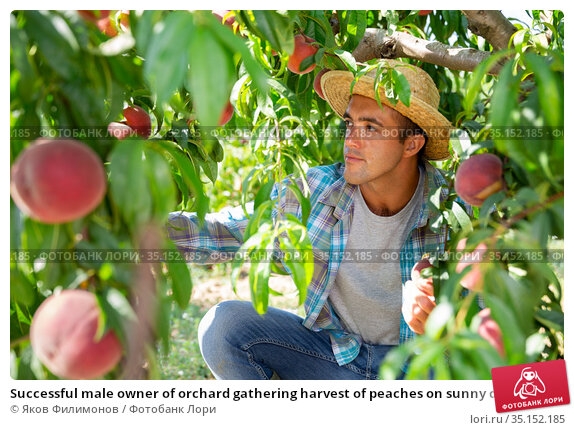 Successful male owner of orchard gathering harvest of peaches on sunny day. Стоковое фото, фотограф Яков Филимонов / Фотобанк Лори