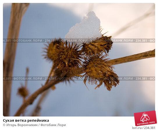 Сухая ветка репейника, фото № 234381, снято 23 марта 2008 г. (c) Игорь Ворончихин / Фотобанк Лори