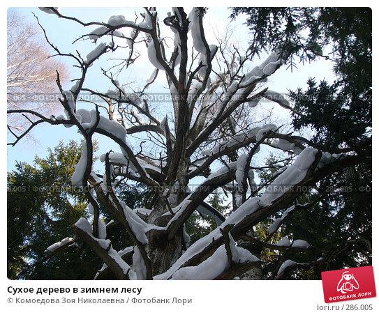 Купить «Сухое дерево в зимнем лесу», фото № 286005, снято 11 марта 2006 г. (c) Комоедова Зоя Николаевна / Фотобанк Лори