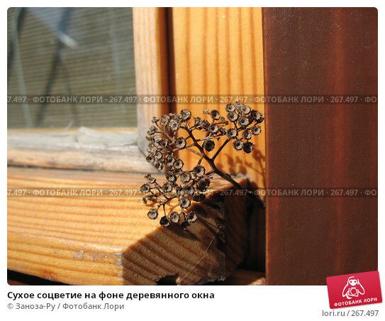 Сухое соцветие на фоне деревянного окна, фото № 267497, снято 20 апреля 2008 г. (c) Заноза-Ру / Фотобанк Лори