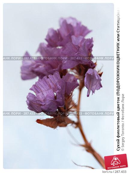 Купить «Сухой фиолетовый цветок (ПОДОРОЖНИКОЦВЕТНИК или Статица)на небесном фоне», фото № 287433, снято 30 апреля 2008 г. (c) Sergey Toronto / Фотобанк Лори