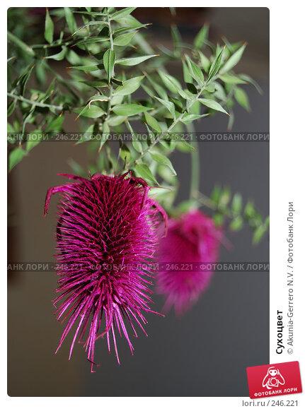Сухоцвет, фото № 246221, снято 3 марта 2007 г. (c) Akunia-Gerrero N.V. / Фотобанк Лори