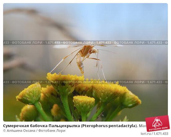 Купить «Сумеречная бабочка Пальцекрылка (Pterophorus pentadactyla). Макро», фото № 1671433, снято 9 августа 2009 г. (c) Алёшина Оксана / Фотобанк Лори