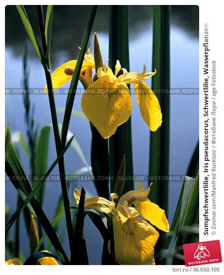 Sumpfschwertlilie, Iris pseudacorus, Schwertlilie, Wasserpflanzen. Стоковое фото, фотограф Zoonar.com/Manfred Ruckszio / age Fotostock / Фотобанк Лори