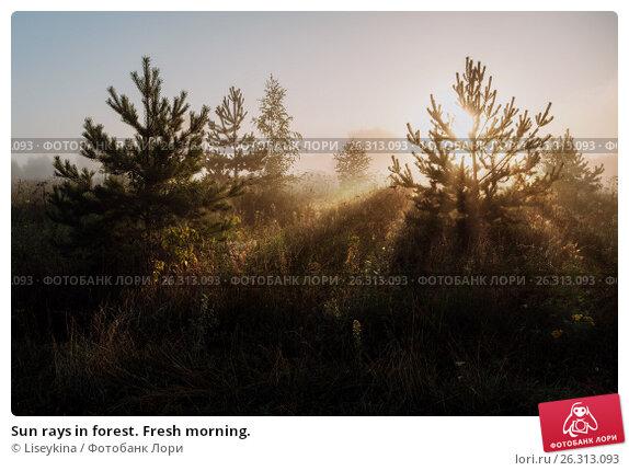 Купить «Sun rays in forest. Fresh morning.», фото № 26313093, снято 6 августа 2016 г. (c) Liseykina / Фотобанк Лори