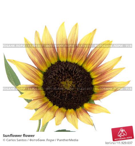 Купить «Sunflower flower», фото № 11929037, снято 22 апреля 2019 г. (c) PantherMedia / Фотобанк Лори