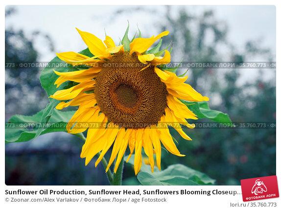Sunflower Oil Production, Sunflower Head, Sunflowers Blooming Closeup... Стоковое фото, фотограф Zoonar.com/Alex Varlakov / age Fotostock / Фотобанк Лори