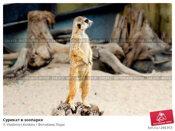 Сурикат в зоопарке, фото № 244913, снято 19 июля 2006 г. (c) Vladimirs Koskins / Фотобанк Лори
