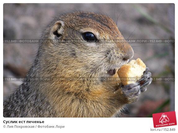 Суслик ест печенье, фото № 152849, снято 4 сентября 2007 г. (c) Лия Покровская / Фотобанк Лори