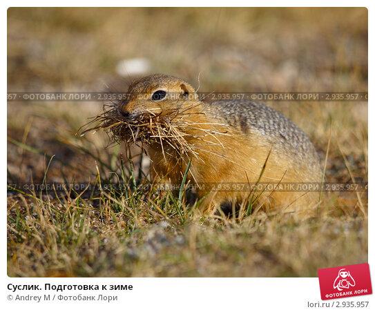 Купить «Суслик. Подготовка к зиме», фото № 2935957, снято 22 августа 2011 г. (c) Andrey M / Фотобанк Лори