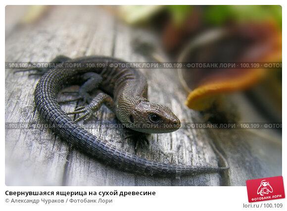 Свернувшаяся ящерица на сухой древесине, фото № 100109, снято 16 августа 2005 г. (c) Александр Чураков / Фотобанк Лори