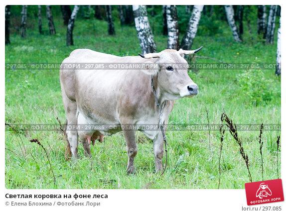 Светлая коровка на фоне леса, фото № 297085, снято 21 мая 2008 г. (c) Елена Блохина / Фотобанк Лори