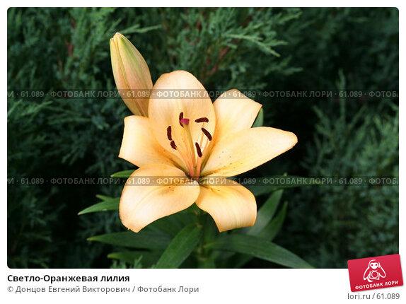 Светло-Оранжевая лилия, фото № 61089, снято 9 июля 2007 г. (c) Донцов Евгений Викторович / Фотобанк Лори
