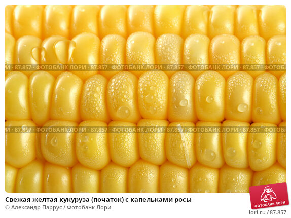 Купить «Свежая желтая кукуруза (початок) с капельками росы», фото № 87857, снято 18 сентября 2007 г. (c) Александр Паррус / Фотобанк Лори