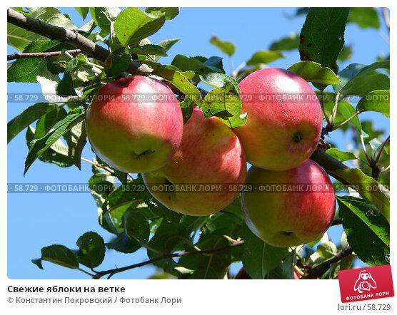 Свежие яблоки на ветке, фото № 58729, снято 16 сентября 2006 г. (c) Константин Покровский / Фотобанк Лори