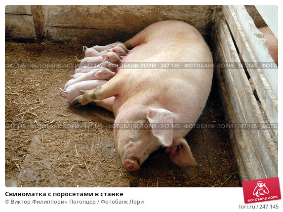 Свиноматка с поросятами в станке, фото № 247145, снято 7 апреля 2006 г. (c) Виктор Филиппович Погонцев / Фотобанк Лори
