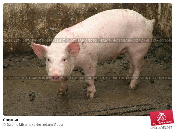 Свинья, фото № 63917, снято 19 декабря 2006 г. (c) Dzianis Miraniuk / Фотобанк Лори