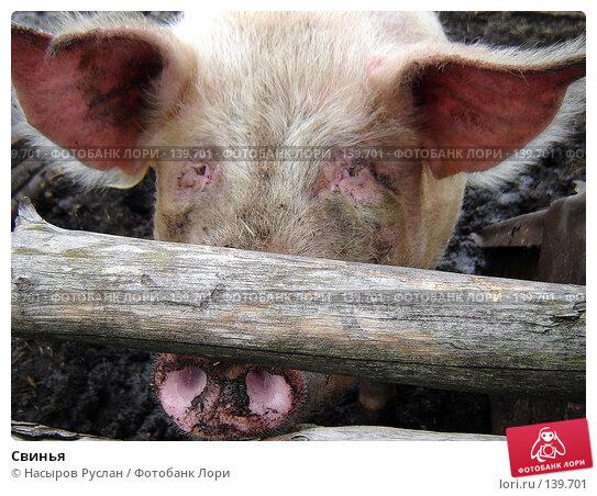 Свинья, фото № 139701, снято 16 мая 2007 г. (c) Насыров Руслан / Фотобанк Лори