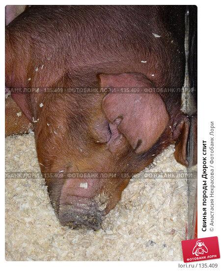 Купить «Свинья породы Дюрок спит», фото № 135409, снято 7 октября 2005 г. (c) Анастасия Некрасова / Фотобанк Лори